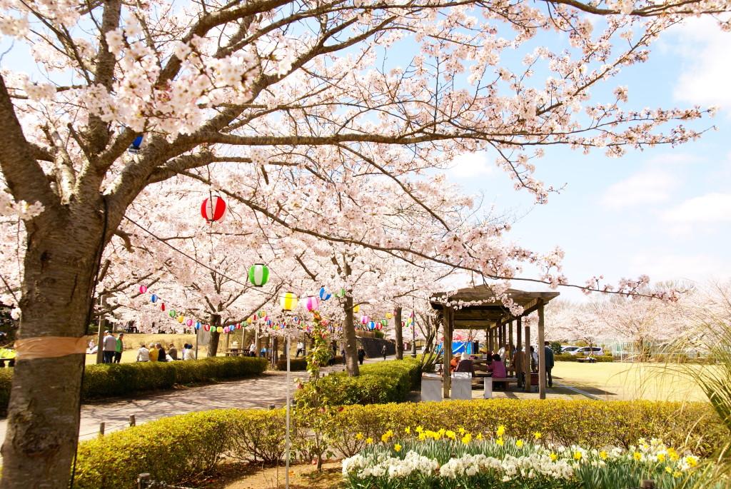 4月|きらくやま桜まつり
